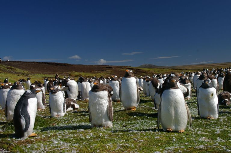 Falkland_Islands_Penguins_44
