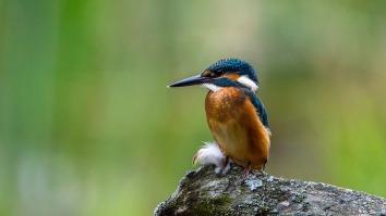 kingfisher-2118784_960_720